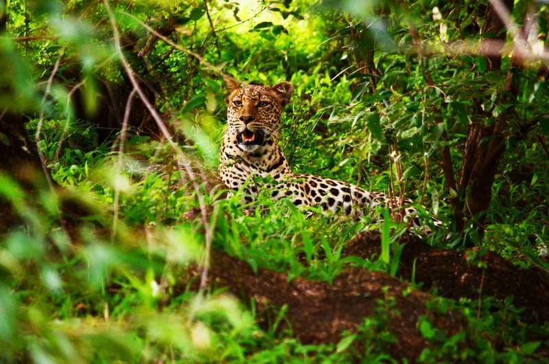 Leopard on Safari with Safaris Unlimited Africa Wildlife Experience in Kenya
