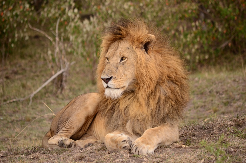 Lion on Safari with Safaris Unlimited Africa Wildlife Experience in Kenya