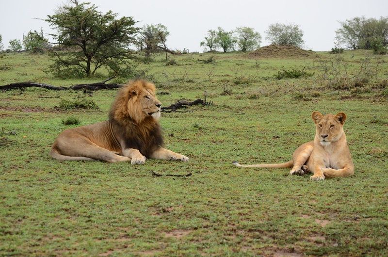Lion Couple on Safari with Safaris Unlimited Africa Wildlife Experience in Kenya