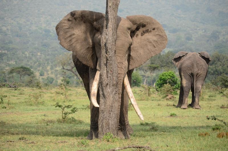 Giraffe on Safari Elephants Experience with Safaris Unlimited Africa