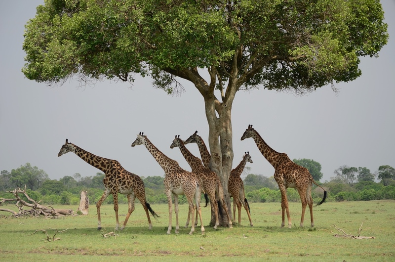 Giraffe on Safari Wildlife Experience with Safaris Unlimited Africa