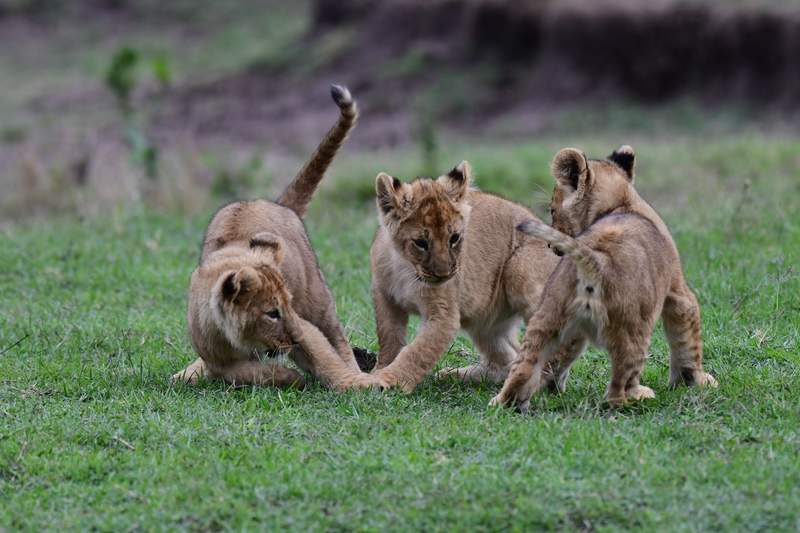 Lion Cubs on Safari Wildlife Experience with Safaris Unlimited Africa