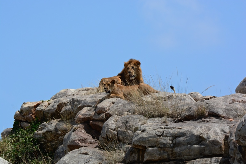 Lion on Safari Wildlife Experience with Safaris Unlimited Africa