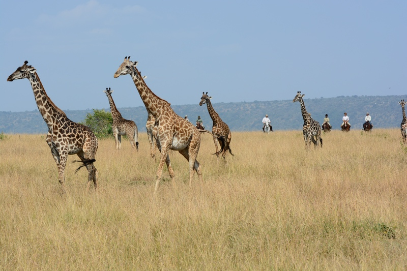Giraffes and Horseback Riding on safari with Safaris Unlimited Africa in Kenya