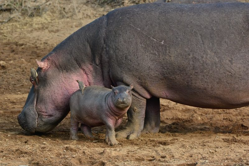 Hippo on Safari with Safaris Unlimited Africa Kenya Wildlife Experience