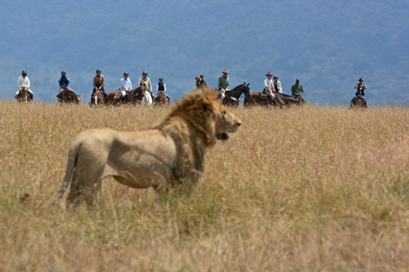 Male Lion and Horseback Riding on safari