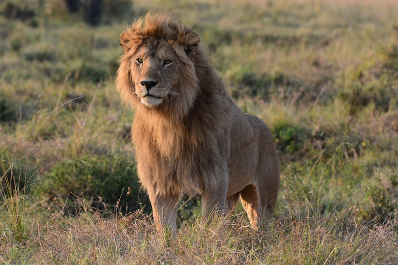 Male Lion on safari with Safaris Unlimited Africa in Kenya