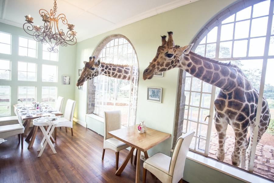 Safaris Unlimited Africa - two giraffes through the window at Giraffe Manor Kenya