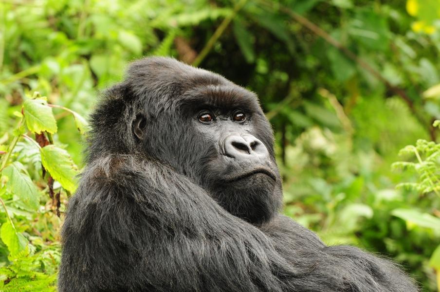 Safaris Unlimited Africa - Gorilla Viewing activity safari Kenya