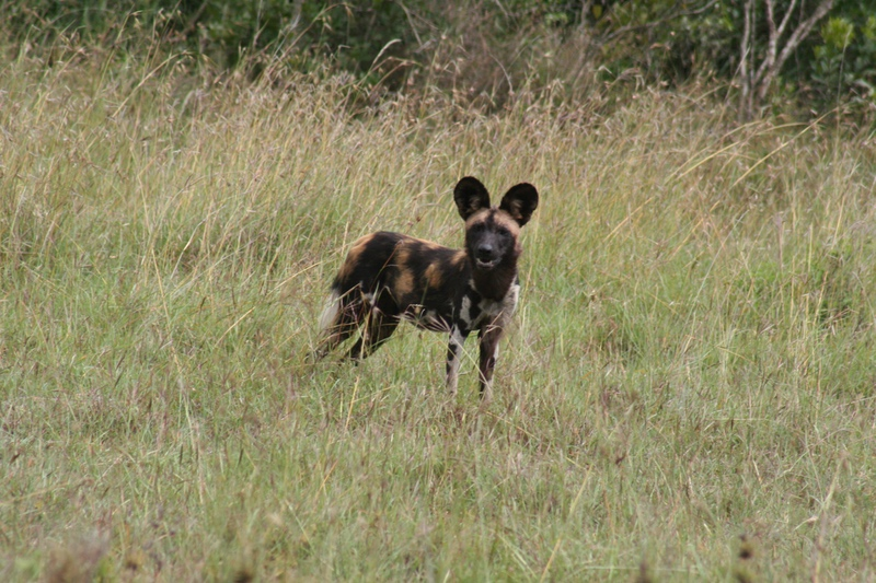Wild Dog, Painted Dog, Safari, Kenya, Africa, Safaris Unlimited, Wildlife