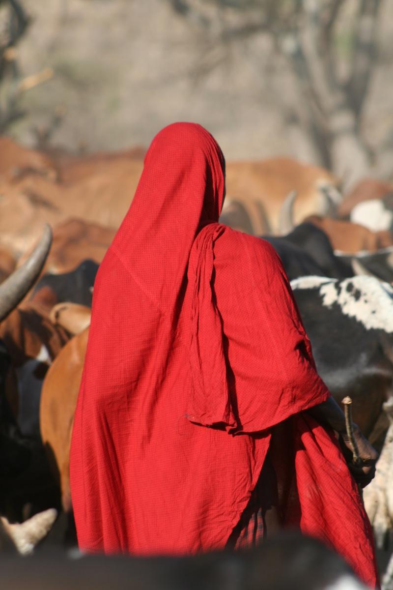 Maasai Herding Cattle on Safari in Kenya, Africa, with Safaris Unlimited