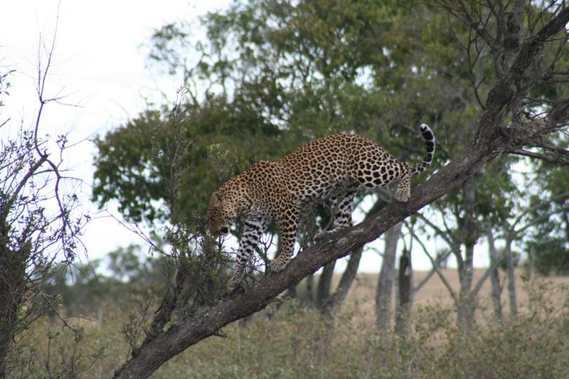 Leopard, Safari, Kenya, Africa, Safaris Unlimited, Wildlife Safari