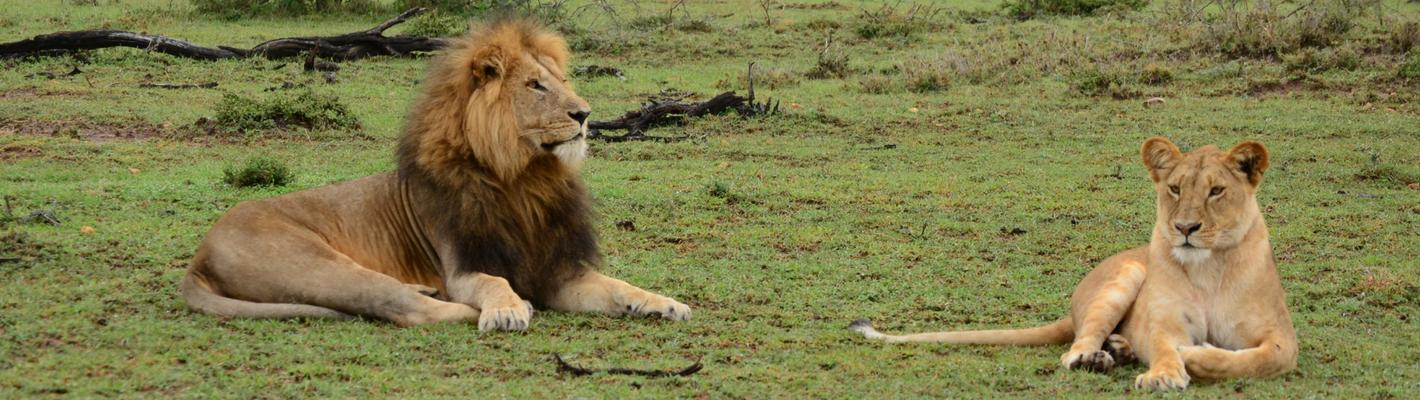 Safaris Unlimited Africa - Wildlife Safari Kenya Lion and Lioness in the Masai Mara