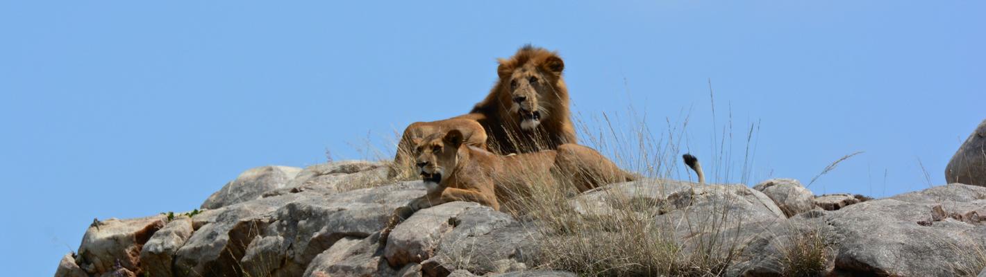 Safaris Unlimited Africa - Wildlife Safari Kenya Lions