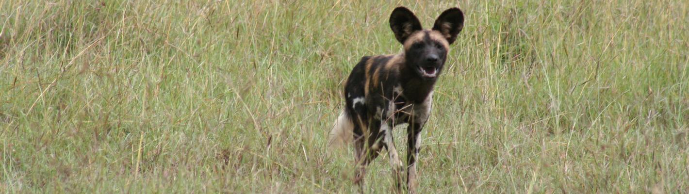Safaris Unlimited Africa - Wildlife Safari Kenya Wild or Painted Dog