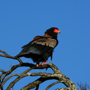 Bateleur Eagle, Safaris Unlimited, Kenya, Africa, Birding, Ornithology, Bird life, Wildlife Safari