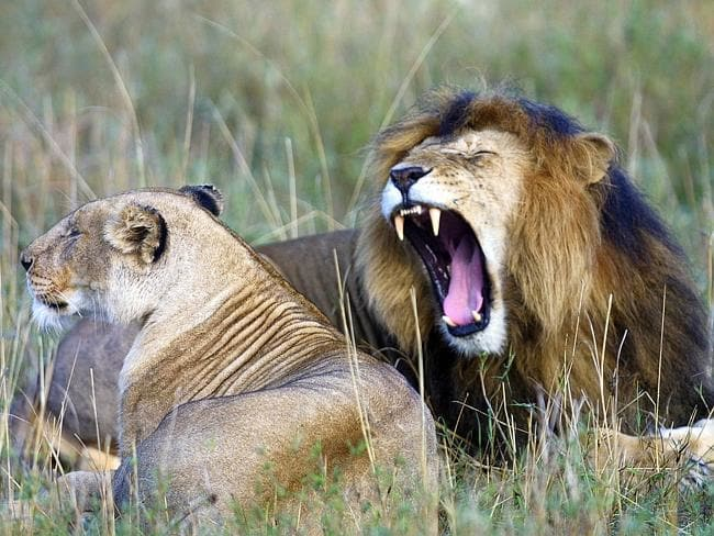 Lion, Wildlife, Africa, Safari, Safaris, Kenya, Safaris Unlimited, Wildlife Safaris, Gordie Church